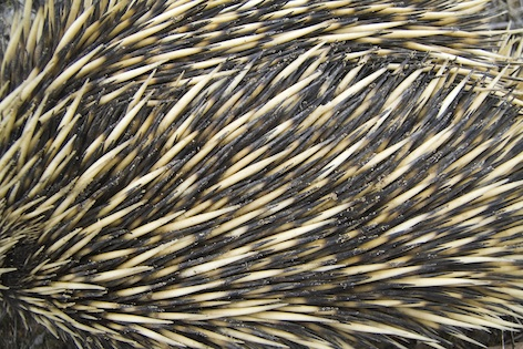 Echidna spines ©Getty Images