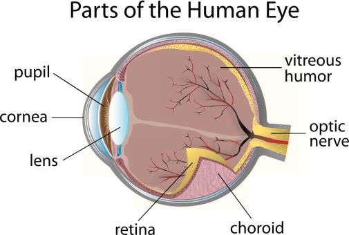 eyeanatomy.jpeg