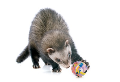 Pet ferrets should be given toys to play with. ©Getty Images