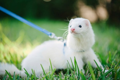 Pet ferrets can be walked on a lead. ©Getty Images