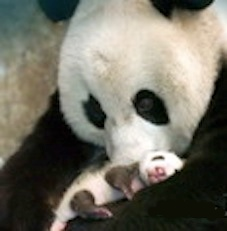 Giant panda with a one month old cub. ©Getty Images
