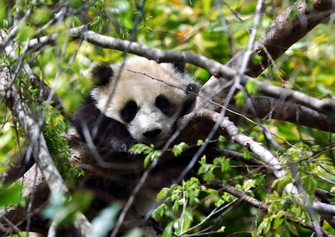 Panda cub in a tree. ©Getty Images