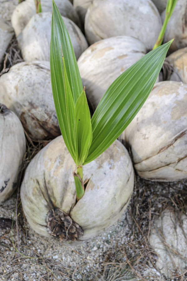 A coconut beginning to shoot. ©iStock