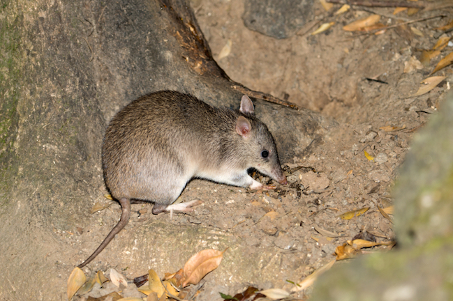 This is a long-nosed bandicoot. Bandicoots are active at night. Getty images