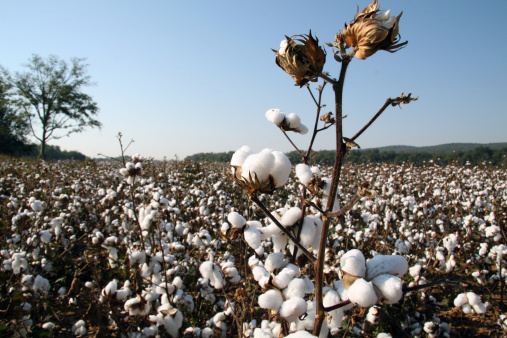 The cotton boll is the fruit of the cotton plant. Getty Images