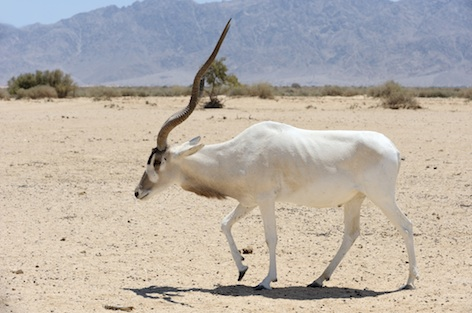 An addax in the Sahara desert ©Getty Images