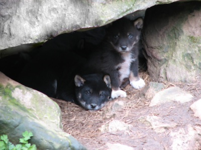 Dingo pups peeping out of the den ©Getty Images