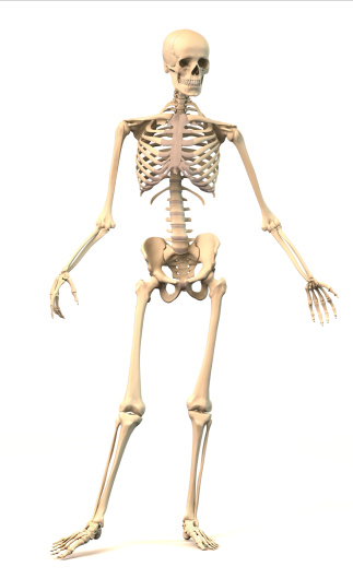 A skeleton is all the bones of the body that protect our internal organs. © Getty Images