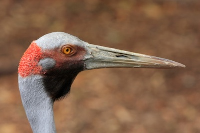 Like all cranes, a brolga's head is not feathered. ©Getty Images