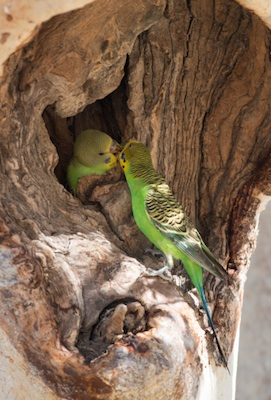 Wild budgerigars nest in tree hollows. ©Getty Images