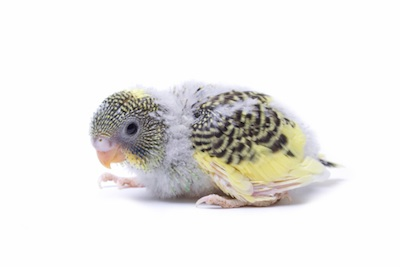A budgie chick © Getty Images