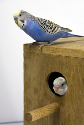 Pet budgies lay their eggs in a nesting box. © Getty Images