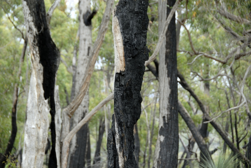 Re-growth in bushland, one year after a bushfire.