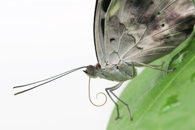 A butterfly proboscis (tongue) . At rest the wings are upright. © Getty Images