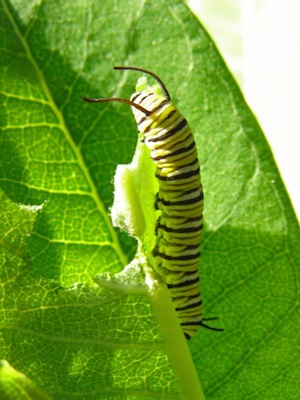 Caterpillars eat and eat and grow © Getty Images