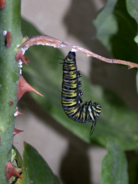 A caterpillar getting ready to pupate. ©Getty Images