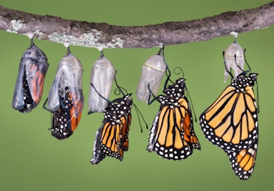 Time lapse photo showing a butterfly emerging from its chrysalis. ©Getty Images