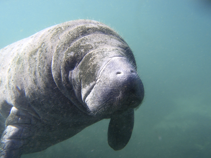 Dugongs are a greyish brown colour.  ©iStock