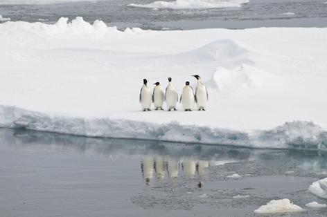 Emperor penguins ©Getty Images