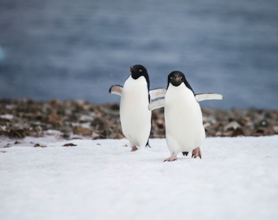 A pair of Adelie penguins. ©Getty Image