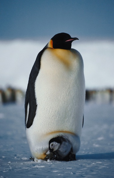Emperor penguin chick protected by the male's warm brood patch. Getty Images