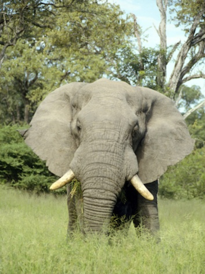 A male African elephant. ©Getty Images