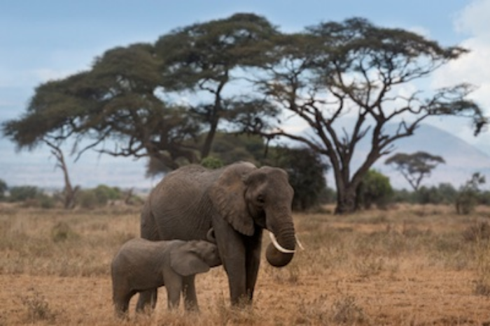African elephant calf suckling milk from its mother. ©Getty Images