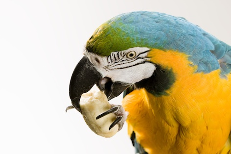 A beak that opens Brazil nuts...a young green winged macaw ©Getty Images
