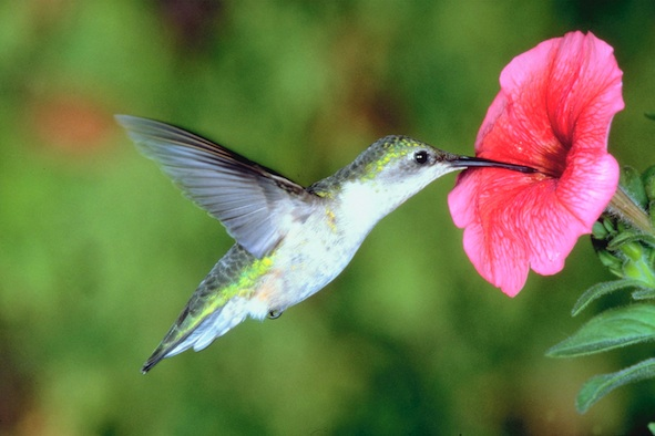 A tiny hummingbird getting nectar. ©Getty Images
