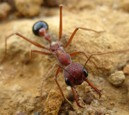 Bull ants can give a painful sting © Getty images