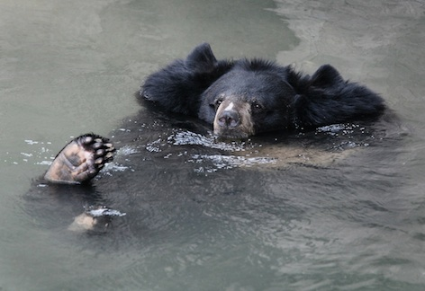 This Asiatic black bear enjoys a swim. © Getty Images