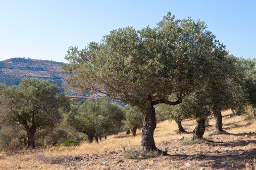 From 2475 B.C. olives are picked and eaten or pressed to make olive oil. Getty Images