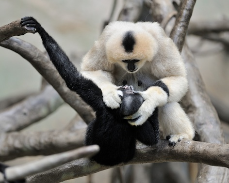 A female white-cheeked gibbon grooming her black male young. ©Getty Images