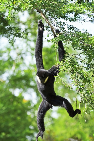 Gibbons spend most of the time in trees. ©Getty Images
