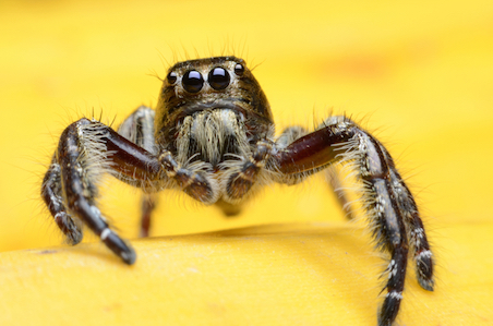 The jumping spider hunts its prey. © Getty Images