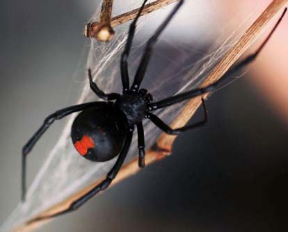 Female redback spiders build webs to catch prey.