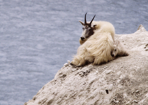 Wild mountain goat and kid ©Getty Images