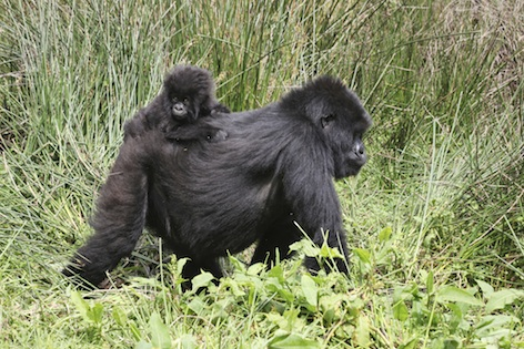 Young mountain gorilla riding on mum's back. ©Getty Images