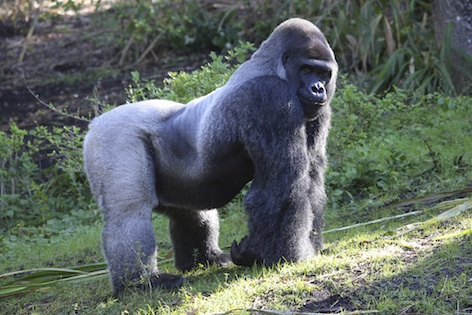 Eastern lowland silverback male ©Getty Images