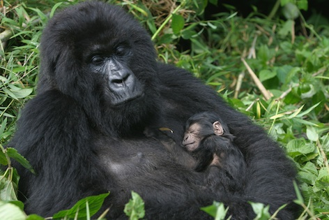 A mountain gorilla with her newborn. ©Getty Images