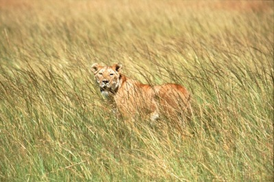 Lions don't live in the jungle - they live in grasslands! ©Getty Images