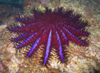 The crown of thorns starfish .