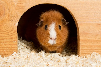 Guinea pig peeping out of its bedroom ©Getty Images