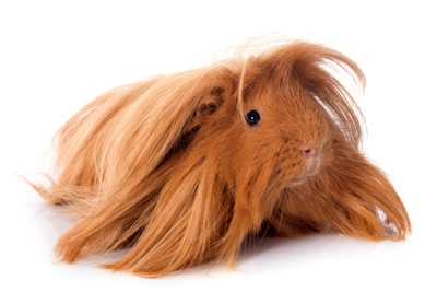 Long-haired guinea pigs must be brushed ©Getty Images