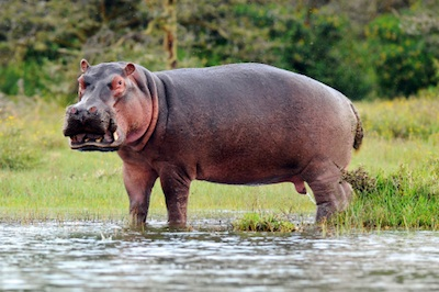 A common hippopotamus. ©Getty Images