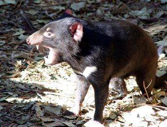 Tasmanian devil. ©Getty Images