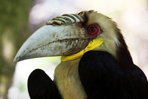 A wreathed hornbill looks like it is wearing a wreath around its neck ©Getty Images