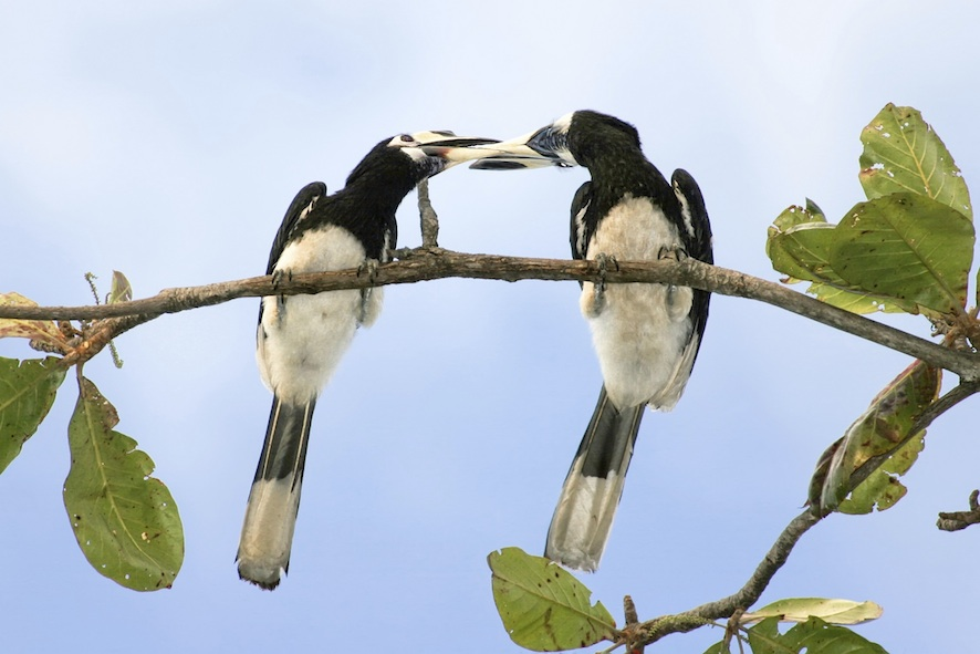 A pair of oriental pied hornbills ©Getty Images