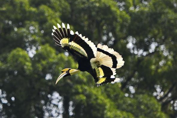 Great hornbill in flight ©Getty Images
