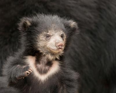 A sloth bear cub. ©Getty Images